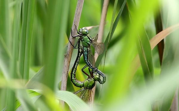 アオヤンマの交尾体