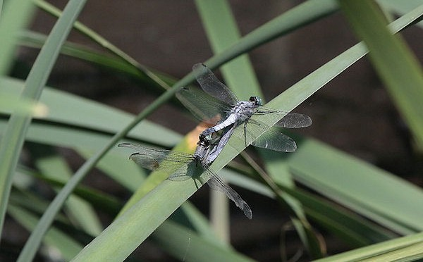 シオカラトンボ、雄と同色の雌。
