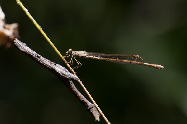 市川市大町自然観察園でホソミオツネントンボ